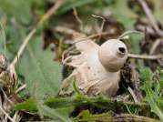 Tiny Earthstar (Geastrum minimum)